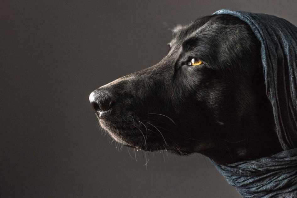 Portrait Of A Black Lab Retriever With Blue Scarf