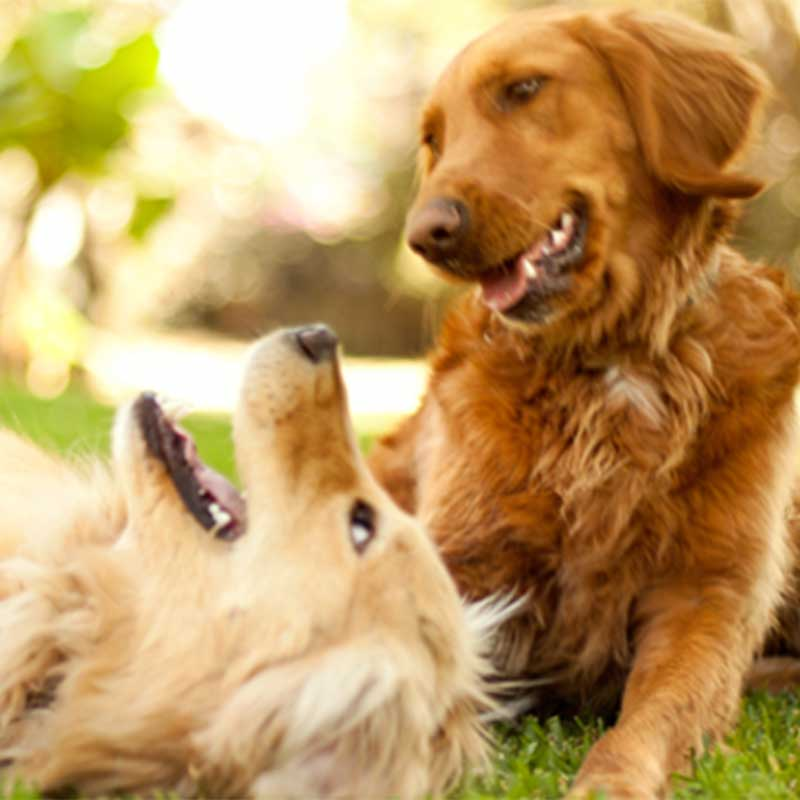 Golden retriever and yellow lab playing in park