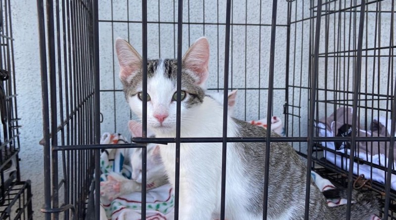 Cat up for adoption in LA