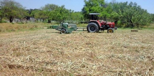 Pierden campesinos 240  mdp en cosecha de sorgo