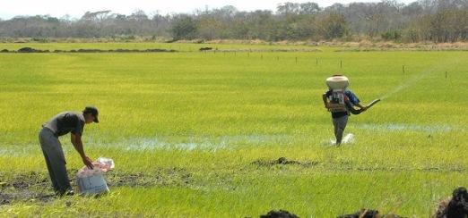 Prevén cosecha récord de arroz en México