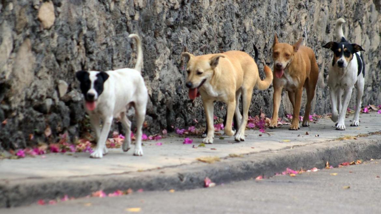 Esterilizarán en Tampico a perros callejeros