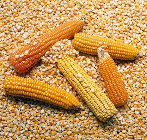 Alta demanda de maíz dispara costo de granos