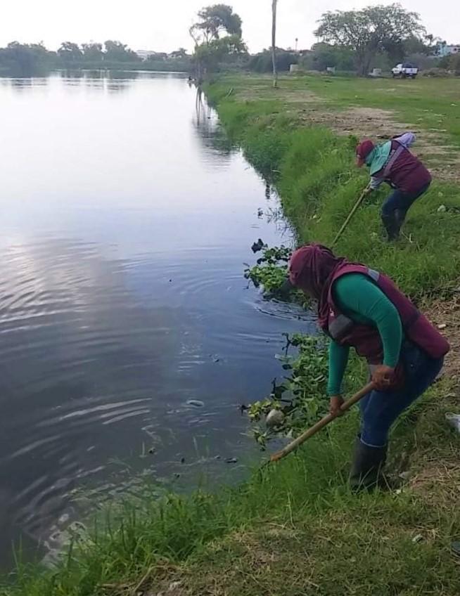 Combaten proliferación de lirio acuático en lagunas del municipio