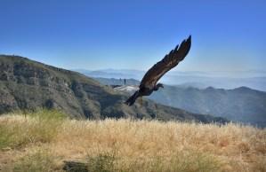 California Condor Jon Myatt/USFWS