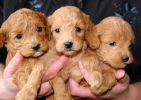 IVC's Cram Week activities include some puppy cuddling to help relieve some of the finals week stress. (Pixabay.com)