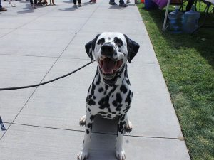 Jax the Dalmatian sits for a treat before showing off his next trick, on Thursday, April 27, 2017. (Taya Buehler-Reagan)