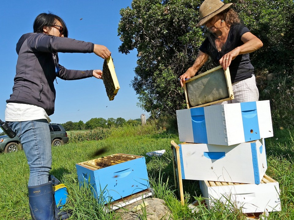 Yao Yang and Marla Spivek  check a bee colony at a HAFA farm. (Flickr/Media Mike Hazard/CC BY 2.0 license)