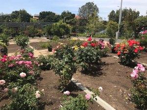 Rose bushes are in full bloom at the Saddleback College garden. (Marie Christner)