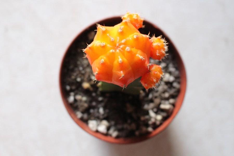 A Moon cactus.