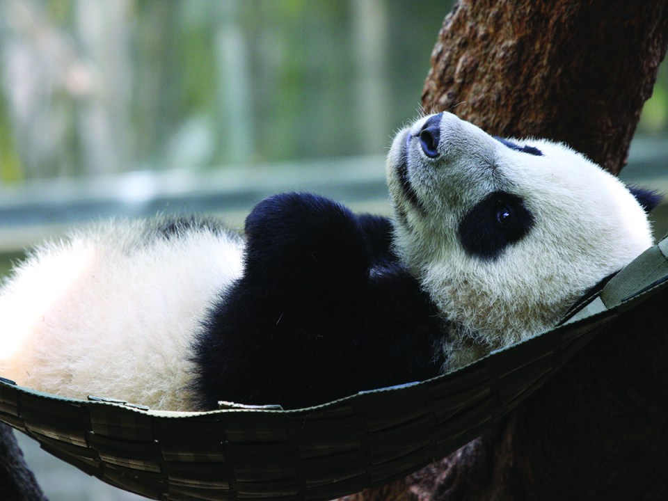 Nathan Rupert took a shot of Yun Zi in his hammock at the San Diego Zoo.
