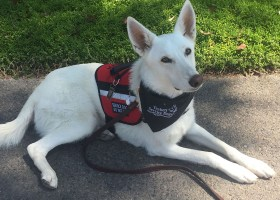 Kaya, is certified through Tackett Service Dogs, an agency recognized by multiple veteran funds. (Courtesy of Hailey Yocham)