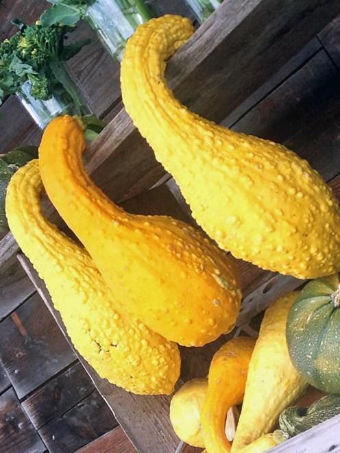 Härlig och nyskördad gul squash från Lärjeån. Foto: Susana Krstic