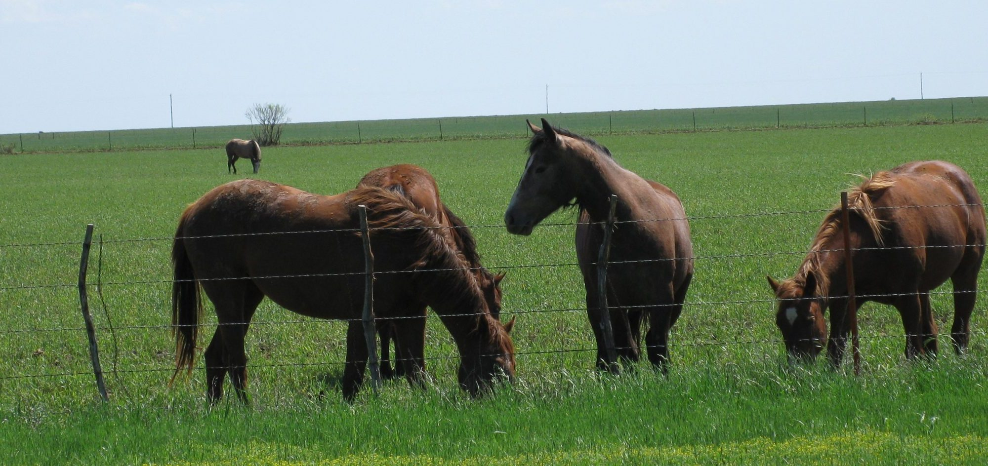 five horses in grass field