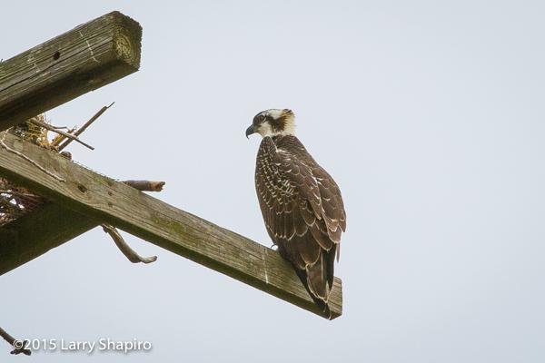 Osprey overlooking the nest