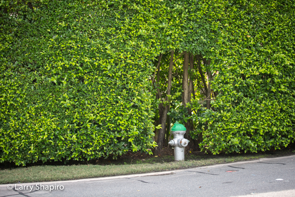 Fire hydrant surrounded by manicured bushes
