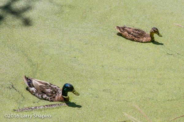 ducks mired in thick algae