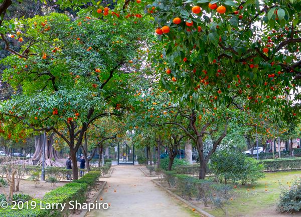 orange trees in Seville Spain
