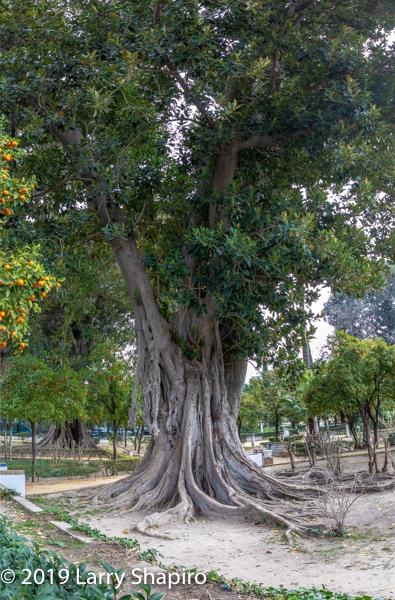huge rubber tree in Seville Spain