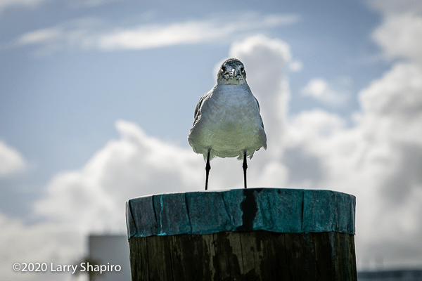 Seagull on a wooden post