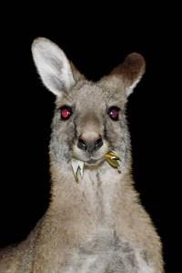 Downunder, Street Photography, Portrait, Animal, Photo Book, Lars Hübner, Fotograf, Australia, Reportage, Visual Storytelling, Night, Red Eyes, Roo, Kangaroo