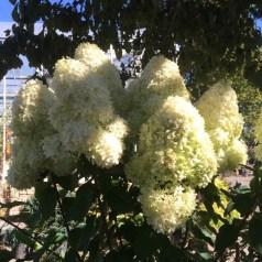 Flowering Bushes/Trees