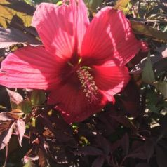 Hibiscus flower with large blooms