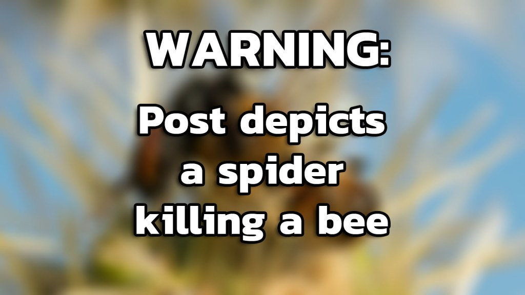 Warning: This post shows a spider killing a bee