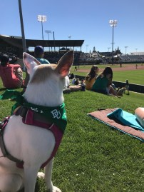 Baylor Baseball Bark in the Park