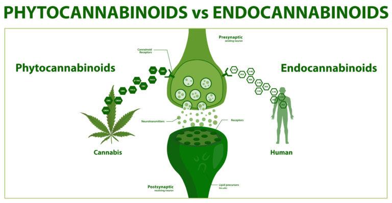 Los cannabinoides: ¿Qué son y por qué nos afectan?