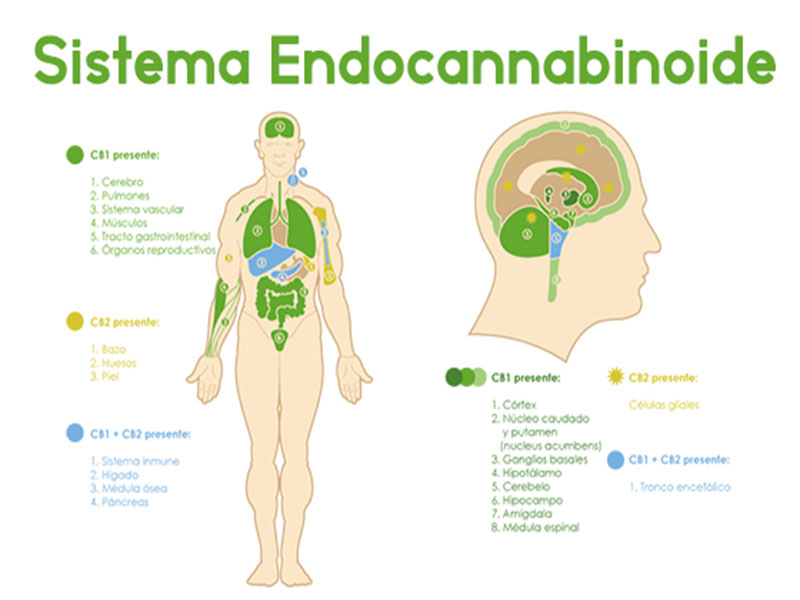 Sistema endocannabinoide: ¿Qué son y por qué nos afectan?