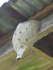 This wasp nest resides under the eaves.