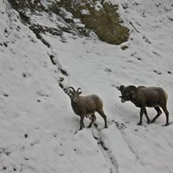 Cabras Rocky Mountains Canadá