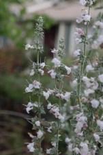 White Sage Blooms, Salvia apiana