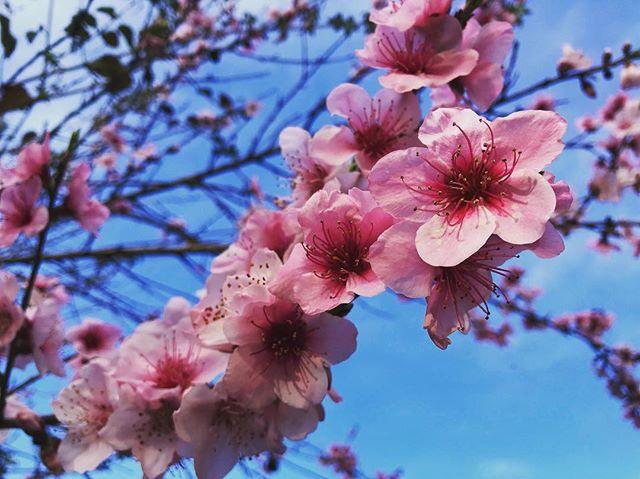 🌸 Spring has sprung 🌸 #springishere #summerisnear #ibiza2018 #summerseason2018 #lascicadasibiza #vacation #destination #holidays #islandlife #itsbetterinibiza #blossom #blooming #flowers #bluesky /// we 💙 you #ibiza 🌸
