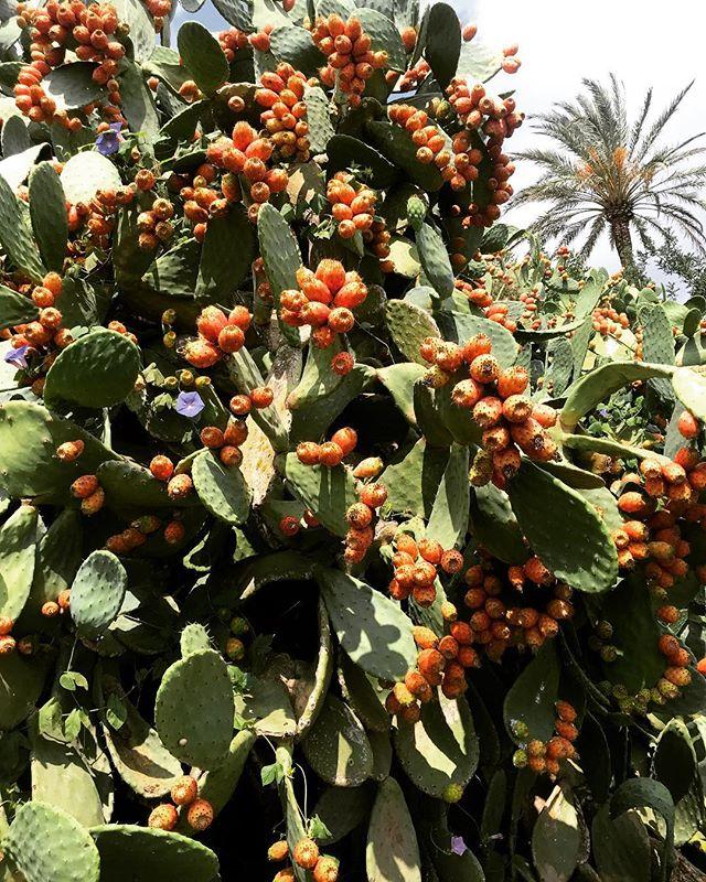 •Prickly Pear Paradise• #pricklypear #cactusfruit #ibiza #september #lascicadasibiza #campo #nature #islandlife #mediterranean #paradise