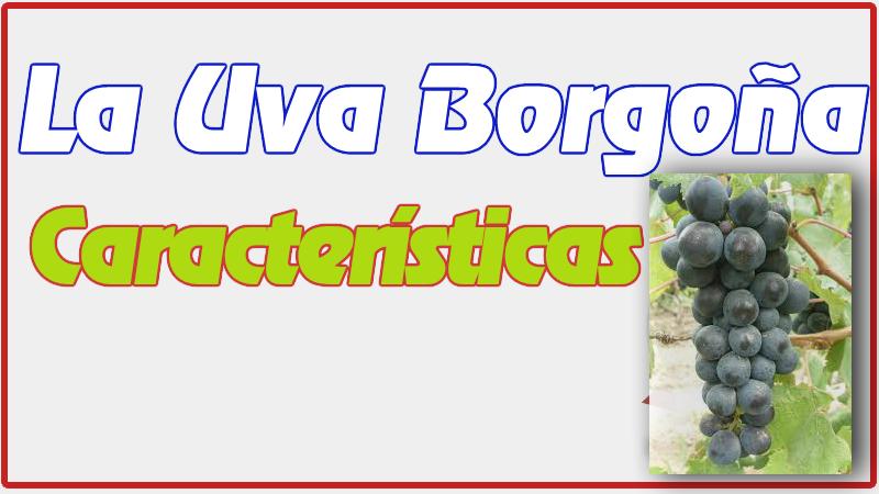 Uva Borgoña Características y Beneficios