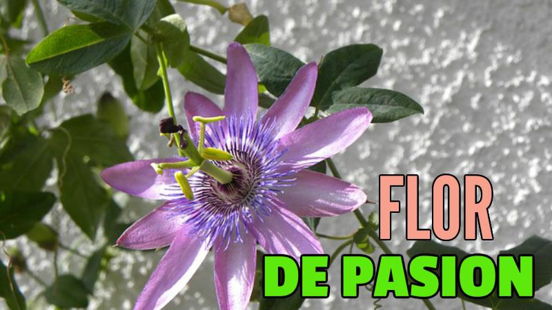 FLOR DE PASION