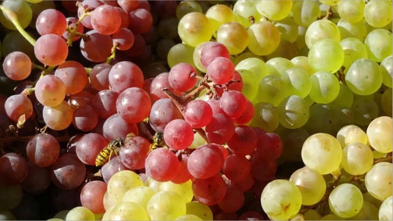 Las Uvas Podrían Reducir El Riesgo de la Ceguera