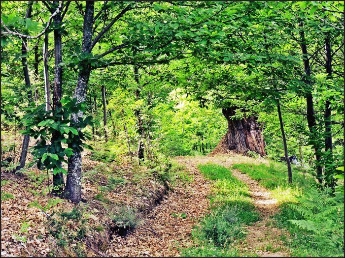 Camino entre castaños