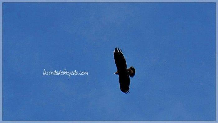 Águila Real en Riosol