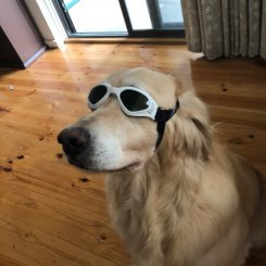 Doggles on Labrador