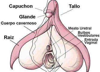 clitoris_anatomia-alt-685x500