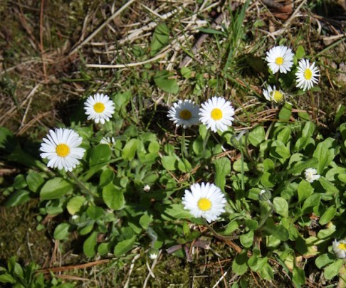 White English daisies make a lovely low growing wildflower ground cover.