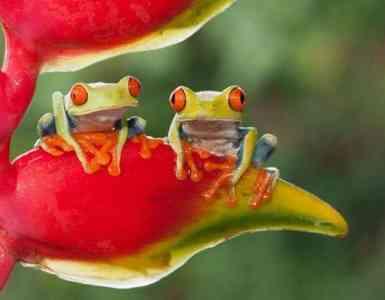 Rana venenosa y abundante en la selva tropical