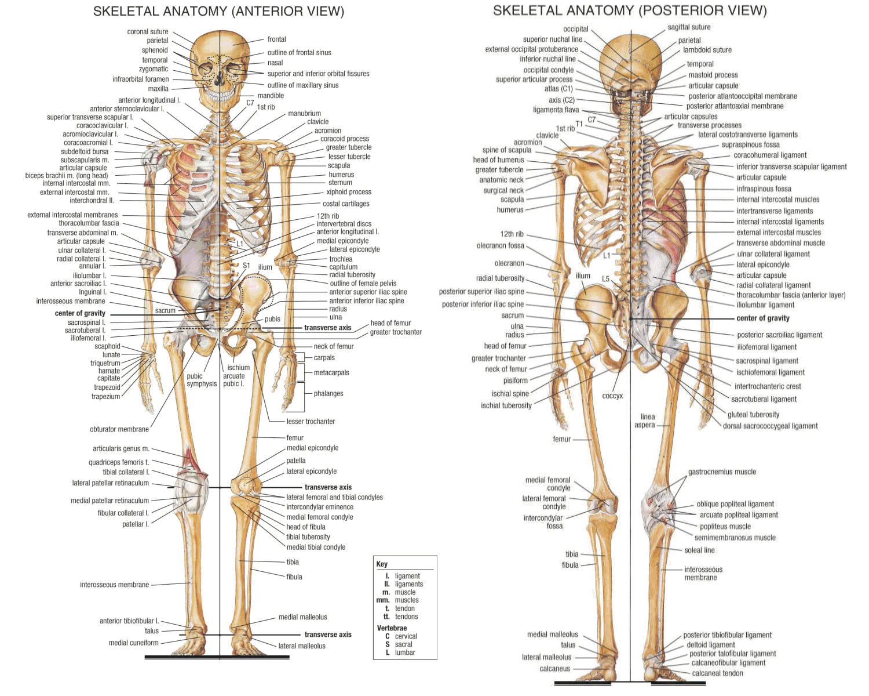 Esqueleto Humano Infografia Infographic Health