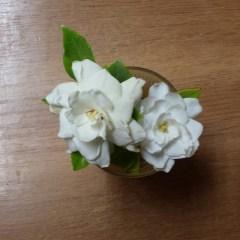 gardenias 01