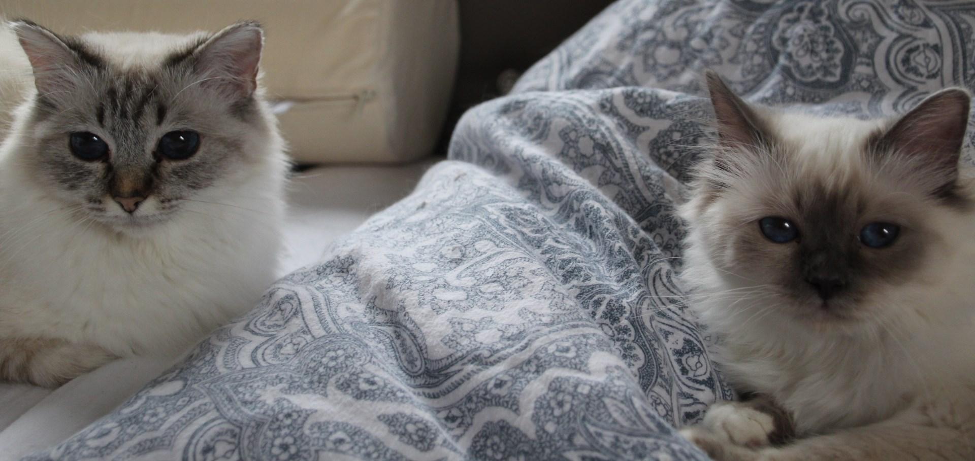 das einmaleins der richtigen dosen ffner f r meine kitten heilige birmakatzen las perlas sin. Black Bedroom Furniture Sets. Home Design Ideas