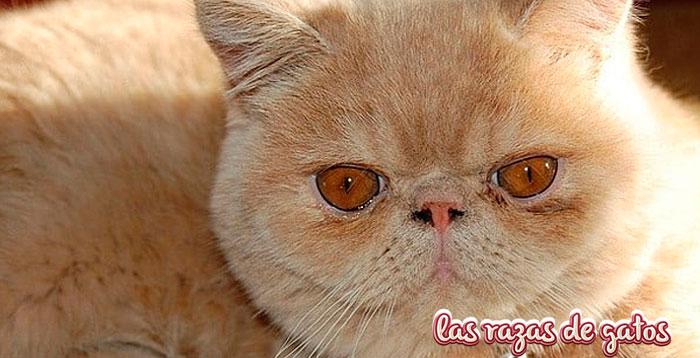 gato exotico de pelo corto