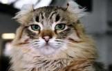 gato curl americano 3